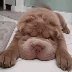 Shar Pei Instagram | This Bundle Of Fur Is Like A Bear Mixed With A Puppy, And It's My ...