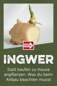 Statt kaufen: Ingwer einfach nachwachsen lassen – so geht's Grow ginger at home and multiply. What you have to pay attention to when planting ginger yourself and need it for cultivation, you will find out here. Growing Ginger, Growing Herbs, Growing Vegetables, Garden Types, Garden Care, Garden Plants Vegetable, Ginger Plant, Rose Trees, Small Garden Design