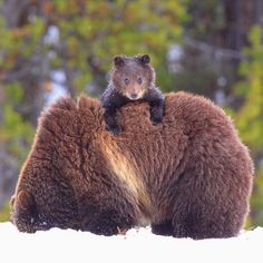 Steve Hinch photograph Yellowstone National Park, WY - hitching a ride on mum's back to keep paws from getting cold!