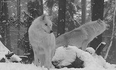 Check out all the awesome wolf pack gifs on WiffleGif. Including all the wolves gifs, wolf gifs, and animals gifs. Wolf Love, Arktischer Wolf, Wolf Howling, Wolf Pup, Wolf Spirit, My Spirit Animal, Gifs, Animal Espiritual, Wolf Hybrid