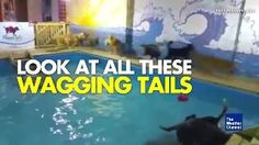 "Lots of Wagging Tails in the Pooch Pool  Trending News Loading.... Dog Pool Party weather.com Posted: Jun 20 2016 05:01 PM EDT Updated: Jun 20 2016 05:01 PM EDT Dogs jump, splash around and chase balls at a ""pool party"" offered by a boarding facility"