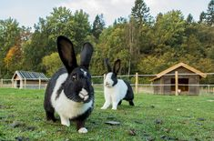 Overall, the Mellerud Rabbit is considered strong and hardy. A rare breed, the Mellerud Rabbit is known for being lively and curious. Rabbit Breeds, Bunny, Pets, Pictures, Rabbits, Animals, Google Search, Photos, Breeds Of Rabbits