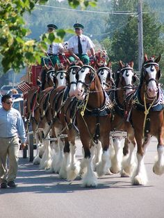 Groups of 10 Clydesdales travel together as a hitch team. Eight are hitched together to pull the wagon. Two horses travel as alternatives.