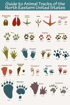Wildlife leave animal tracks near your home. Watch for their footprints in snow, mud or sand. Use these activities to help you remember which animals go with these prints. Come look for animal tracks! Survival Life Hacks, Survival Quotes, Survival Prepping, Survival Gear, Emergency Preparedness, Camping Survival, Survival Shelter, Camping Hacks, Survival Stuff