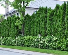 Climbing hydrangea covers the fence, while a solid wall of cedars create a complete privacy wall.