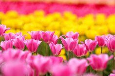 色とりどりのチューリップ綺麗です!!:Sera-kogen Nojyo 【世羅高原農場】広島県世羅郡世羅町