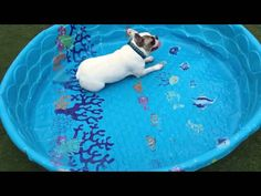 Here's proof that French Bulldogs don't need water to swim.