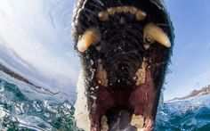 Hi-tech camera equipment floating in the cold water captures the moment a curious polar bear swims up to it and tries to take a bite out of it. The camera manages to inside of the polar bear's mouth as it opens for the bite - revealing its huge deadly teeth. These pictures of the 70-stone bear were taken by photographer Paul Souders, 54, at the Northern edge of Hudson Bay in the Canadian Arctic.