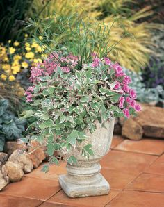 Country Garden | Proven Winners-1 Flying Color Trailing Antique Rose Twinspur diascia, 1 Supertunia Mini Strawberry Pink, 1 Tricolor Sweet Potato Vince and 1 Graceful Grasses Baby Tut umbrella grass