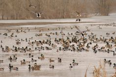 Planning your first hunting trip of the season?  Missouri duck hunting might just be the ticket  #duckhunting