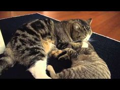 Maru and Hana Have Some Serious Playtime