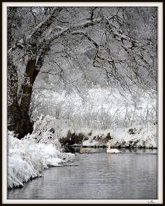 Swan Lake and snowflakes ... #snowy woods #swans