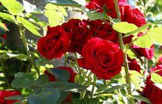 Não é segredo pra ninguém que a rosa é considerada a rainha das flores. E nem precisa de justificativa para isso. Não há nenhuma outra planta com tantas