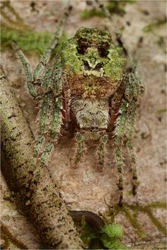 Orb weaver spider (Parawixia sp.) Photo from Bastimentos island, Panama.