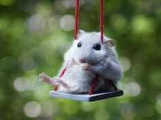 Piccsy :: Hamster on a Swing