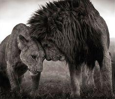 Pareja de leones en el Masai Mara de Kenia, fotografía de Nick Brandt