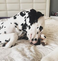 Sorry Mom Bruna's food was sitting there... All alone... I felt sorry for those little kibbles they wanted me to eat them!  / Perdón mamá la comida de bruna estaba ahí...solita...Y me dieron penita tan pequeñas...me decían; cómeme!   #igclubdogs #dog_features #my_loving_pet #excellent_dogs #topdogphoto  #instagrampetphotos #showcasing_pets #bestwoof #weeklyfluff #dogsofinstagram #cutepetclub #sendadogphoto #lacyandpaws  #animaldisplay #doglovers #igcutest_animals #dog #dalmata…