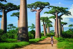 Avenue of the Baobabs Location: Madagascar TheAvenueorAlley of the Baobabsis a prominent group ofbaobabtrees lining the dirt road betweenMorondavaandBelon'i Tsiribihinain theMenaberegion of westernMadagascar. Its striking landscape draws travelers from around the world, making it one of the most visited locations in the region. It has been a center of local conservation efforts, and was granted temporary protected status in July 2007 by the Ministry of Environment, Water ...