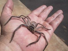 Yes, they are for real but good to have around the house!  Huntsman spider