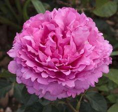 La Rosa Piaget