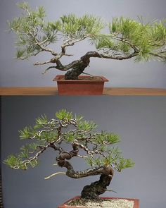Today's work. #sonamu #redpine #pine #분재 #bonsai #bonsaitree #盆栽