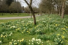 Some daffodils from Bute Park, Cardiff, today. Really warm weather!