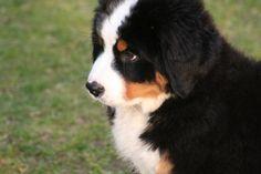 Bernese Mountain puppy
