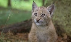 There are only 60 Balkan lynx remaining in their natural habitat along the former Iron Curtain. This is one of them.