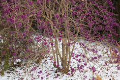 Beautyberry http://www.forttryonflowers.com/