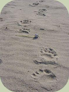 Black bear tracks - walking
