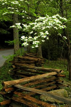 Beautiful Dogwoods in the Smoky Mountain woods.