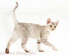 Ocicat kitten walking across
