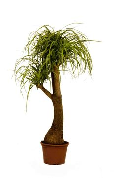 Nature At Work - Office Plant Rental, Living Wall Systems Desert Plants, Tropical Plants, Pony Tail Palm, Lower Lights, Office Plants, Potted Plants, Plant Hanger, House Plants, Plants