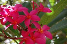 Plumeria - Kauai