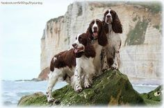"""Come hiking with us!"" #dogs #pets #SpringerSpaniels Facebook.com/sodoggonefunny"