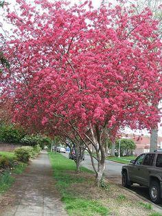 Crabapple Tree pathway - pink spring flowers