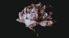 Pink Peony photo by Annie Spratt ( on Unsplash Pink Flower Bouquet, Pink Flowers, Tumblr 19, 2560x1440 Wallpaper, Dark Quotes, Light Quotes, Losing A Pet, Color Of Life, Pink Peonies