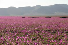 Flores cobrem Deserto do Atacama, no Chile, na região de Huasco  (Foto: AFP Photo/Carlos Aguilar)
