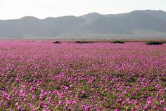 Flores cobrem Deserto do Atacama, no Chile, na região de Huasco  (Foto: AFP Photo/Carlos Aguilar)