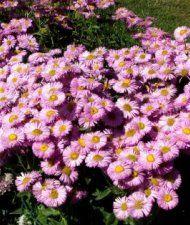 Erigeron speciosus 'Rosa Juwel' - jalokallioinen