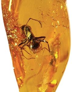 Amber with ant inclusion - Image credit to Anders L. Damgaard, this is a great site about amber, all you need to know.