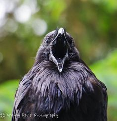 Your daily raven...a big yawn from Bert via Wendy Davis Photography Facebook