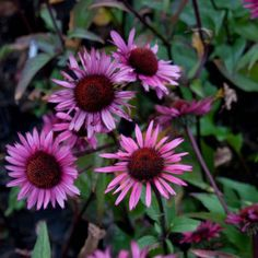 Echinacea Fatal Attraction - Rudbeckia pourpre
