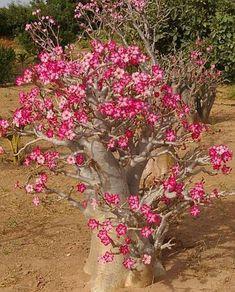 97 Best Adenium images in 2019 | Desert rose, Planting