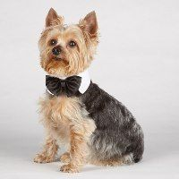 These Canine Royale Black Dog Bowties will add a sophisticated look to any canine wardrobe. The Canine Royale Black Dog Bowties have a comfortable, easy-fit Velcro strap and are designed to fit most dogs. Pet Paws, Animal Projects, Dog Bows, Service Dogs, Pet Collars, Yorkshire Terrier, Dog Grooming, Puppy Love, Fur Babies