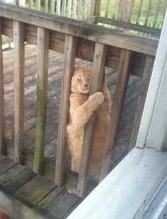 Too chunky to fit through the bars, too lazy to jump over, Ike is stuck on the patio.