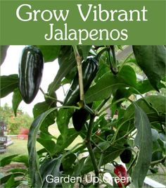 Grow vibrant jalapeno with these gardening tips.