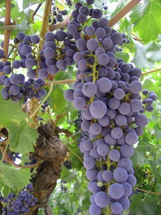 My Nonna had a grape arbor in the back yard.  I remember picking grapes and then making jelly with mom...squeezing the juice through the cheese cloth til our fingers turned purple.