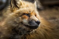 Red fox adaptations, how the red fox has learned to survive with their hunting skills and diversified habitats, as well as using their thick fur. Fox Pictures, Best Funny Pictures, Fox Eat, Photo To Watercolor, Fox Images, Best Swimmer, Animal Species, Hd Picture, Red Fox