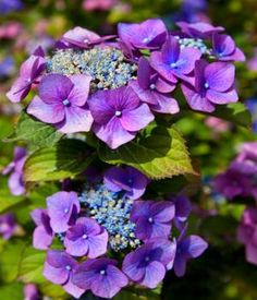Purple Hydrangea  Hortensia  Scientific Name Purple hydrangea  Plant Type Perennial  Blooming Summer and Fall